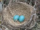 Nest with two eggs
