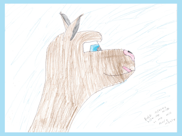 Alpaca licking lips.23 May 2016